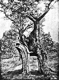 The Greendale Oak, Welbeck Park.